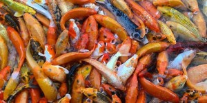 The Famous Fishes of Nuvali. See Our Favorite Koi Fishes On 16 Different Angles!
